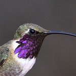 Lucifer Hummingbird, male, Ash Canyon B&B, Hereford, AZ