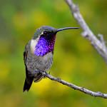 Lucifer Hummingbird, male